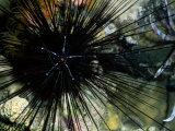 A Black Diadema Sea Urchin