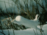 Snowshoe Hare in White Winter Fur Running in the Snow
