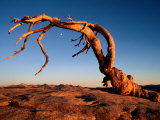 Twilight View of a Jeffrey Pine Tree (Pinus Jeffreyi)