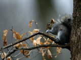 An Eastern Gray Squirrel Has a Meal in the Crotch of a Tree