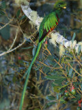 View of a Male Resplendent Quetzal (Pharomachrus Mocinno Costricensis)