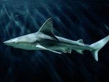 A Sand Bar Shark