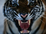 Snarling Tiger
