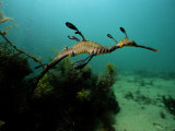 A Weedy Sea Dragon