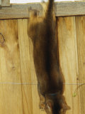 An Abyssinian Cat Jumps Down from a Fence