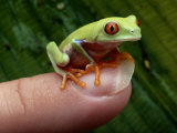 A Red-Eyed Tree Frog Small Enough to Fit on a Thumbnail