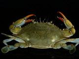Overhead Close-up of a Blue Crab Papier Photo par George Grall