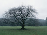An Oak Tree at Derrybawn House in Ireland