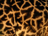 A Close View of a Giraffes Irregular Spots