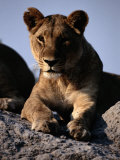 A Portrait of a Female African Lion