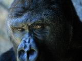 Gros plan sur un gorille Papier Photo par Joel Sartore