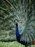 A Captive Male Peacock Displaying His Feathers