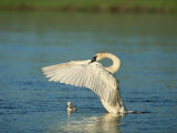 Trumpeter Swan with Young
