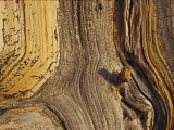 Close View of the Weathered Surface of a 1 500-Year-Old Bristlecone Pine