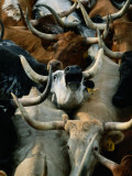 Longhorn Cattle are Packed in During a Roundup