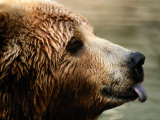A Portrait of a Captive Kodiak Brown Bear with His Tongue Sticking Out