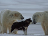Two Polar Bears (Ursus Maritimus) and a Husky Sniff at Each Other