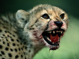 An African Cheetah Cub Shows Features of a Hunter Built for Speed