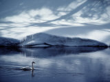 A Trumpeter Swan Glides Across the River