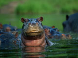A Herd of Hippopotamuses