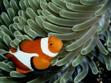 A False Clown Anemonefish Swims Through Sea Anemone Tentacles