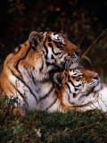 Siberian Tigers (Panthera Tigris Altaica)