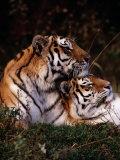 Siberian Tigers (Panthera Tigris Altaica)
