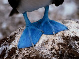 A Close View of the Webbed Feet of a Blue-Footed Booby