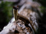 A Long-Tailed Weasel Sits up on a Tree Trunk