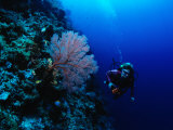 A Diver Swims Past Colorful Gorgonian Fan Coral