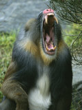 A Yawning Mandrill