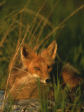 Close View of a Red Fox at Rest