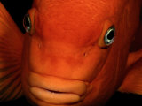 A Close-up of a Tangerine-Colored Garibaldi Fish