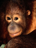A Portrait of a Juvenile Orangutan