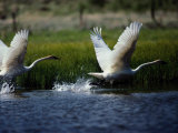 Trumpeter Swans  North Americas Largest Waterfowl