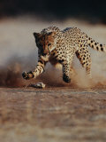 An African Cheetah Kicks up a Dust Cloud