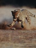 An African Cheetah Kicks up a Dust Cloud