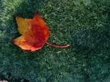 A Maple Leaf Lies on Emerald Moss in Autumn