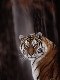 Siberian Tiger (Panthera Tigris Altaica)