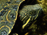 A Coahuilan Red-Eared Turtle Photographed at Laguna Del Hundido