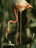 A Caribbean Flamingo Stands on its Nest and Feeds its Chick