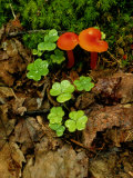Vivid Red Cortinarius Mushrooms Among Clover Plants