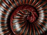 A Millipede Curled into a Spiral