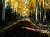 Dirt Road Leading Through a Grove of Aspen Trees