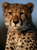 A Portrait of an African Cheetah Surrounded by Pesky Flies