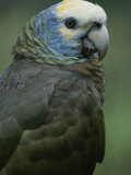 A Portrait of a St Vincent Parrot (Amazon Guildindii)