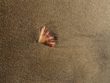 Shell on Sand at Bermagui Beach