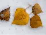 Fallen Aspen Leaves in Snow Near Moraine Lake