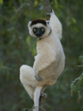 A Verreauxs Sifaka Lemur Clings One-Handed to a Tree Vine