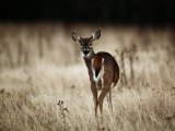 White-Tailed Deer Vocalizing in Meadow Area